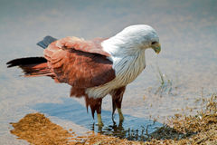Eagle wading in water. A brahmini kite wading in a lake shore searching for food stock image