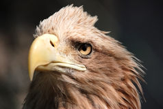Eagle waiting for a victim, Stock Photography