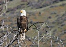 Eagle Watching Fotografia Stock
