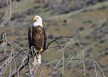 Eagle watching. Bald eagle perched on tree branch Stock Photography