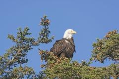 Eagle Watching calvo el paisaje foto de archivo libre de regalías
