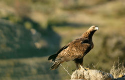 Eagle watching its territory Stock Images