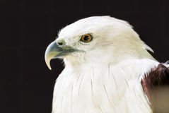 Eagle. White eagle with brown wing and yellow eye in isolated back background royalty free stock image