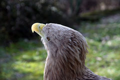 Eagle Royalty Free Stock Photos