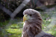 Eagle. White tail eagle in the Zoo park Royalty Free Stock Photos
