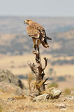 Eagle widzieć od ich korzystnego Obraz Royalty Free