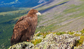 Eagle in wildness. Eagle on rock against wildness background Royalty Free Stock Image