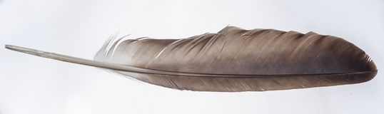 Eagle Wing Feather - isolado no branco fotografia de stock royalty free