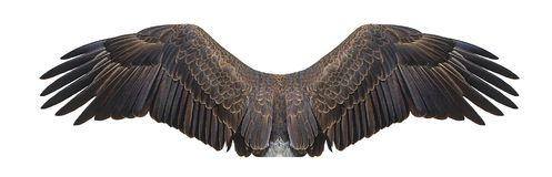Eagle Wings Isolated On White calvo foto de stock