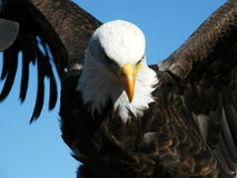 Eagle with wings spread. On a sunny day got a great shot of this bald Eagle Royalty Free Stock Image