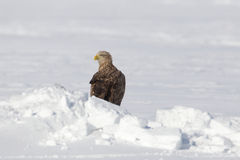 Eagle in Wintertime Royalty Free Stock Photo