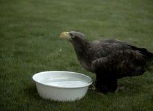 Eagle woda pitna Fotografia Stock