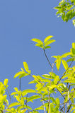 Eagle Wood. (Aquilaria crassna Pierre ex Lecomte.). Royalty Free Stock Image