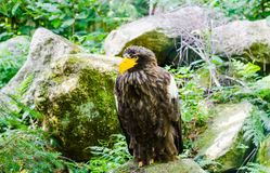 Eagle in the wood, color, horizontal Royalty Free Stock Images