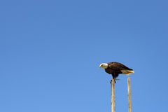 Eagle on a wood pole Royalty Free Stock Photography