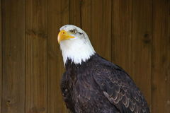 Eagle by the wooden wall Royalty Free Stock Photography