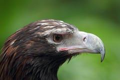 Eagle & x28 Cunha-atados; Audax& x29 de Aquila; Foto de Stock