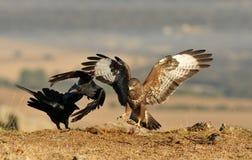 Eagle y el conflicto de la comida del cuervo Fotografía de archivo libre de regalías
