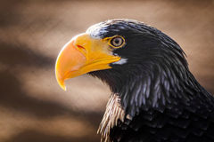 Eagle with yellow beak. Watching Stock Photos