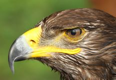 Eagle with yellow hooked  beak and the watchful eye Stock Photo