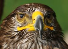Eagle with yellow hooked  beak and the watchful eye Royalty Free Stock Images