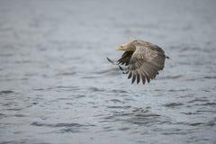Eagle z chwytem Zdjęcie Stock