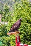 Eagle z oko cieniami Zdjęcia Stock