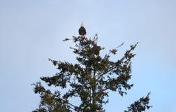 Eagle zachowanie i para zdjęcie stock