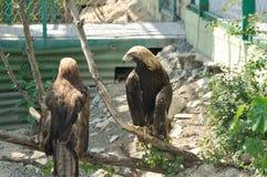 Eagle am Zoo Stockbild
