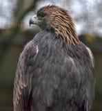 Eagle am Zoo Stockfoto