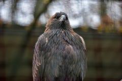 Eagle am Zoo Lizenzfreie Stockbilder
