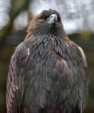 Eagle am Zoo Lizenzfreie Stockfotos