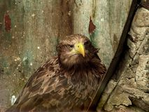 Eagle at the zoo. In a cage. Beautiful and bold bird that loves freedom, should not be in captivity Royalty Free Stock Photo