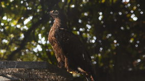 Eagle in the zoo. Hiding in shadows stock video footage