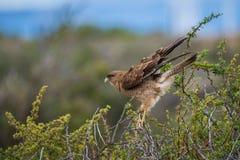 Eagle, zum auf einem Baumast zu sitzen Shevelev Stockfoto