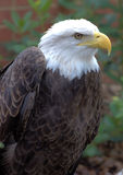 Eagle1 Stock Photography