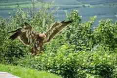 Eagleflying 免版税库存图片