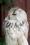 Eaglel con i grandi occhi Fotografie Stock