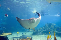 EagleR. Spotted Eagle-rays (Aetobatus narinari) swimming over coral reef, with divers in the background Royalty Free Stock Photography