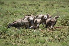Eagles łasowania organy zwierzę Fotografia Stock