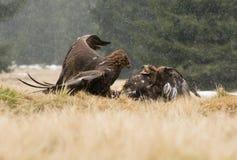 Eagles воюют Стоковое Изображение RF