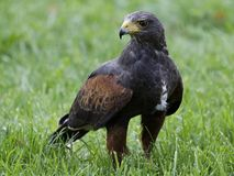 Eagles Stock Photography