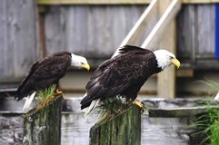 Eagles. Royalty Free Stock Photography