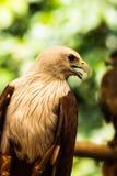 Eagles Imagen de archivo libre de regalías