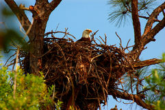 The Eagles Aerie. An American Bald Eagle sits on it's nest in Punta Gorda Florida stock photos