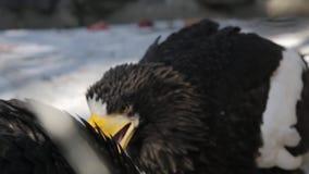 Eagles au zoo banque de vidéos