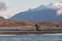 Eagles auf dem Chilkat-Fluss Stockfotografie