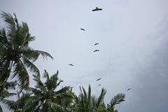 Eagles av sydliga Indien nära den Varkala klippan Royaltyfria Foton