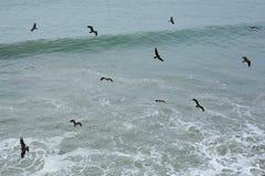 Eagles av sydliga Indien nära den Varkala klippan Fotografering för Bildbyråer