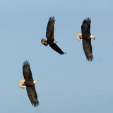 Eagles. A Bald Eagle with a piece of meat being pursued by two other large eagles Stock Image